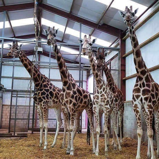 Blair Drummond Safari and Adventure Park's giraffes