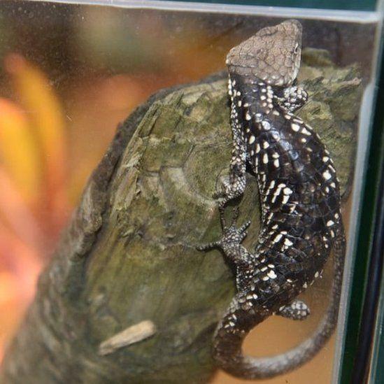 Rescued lizard