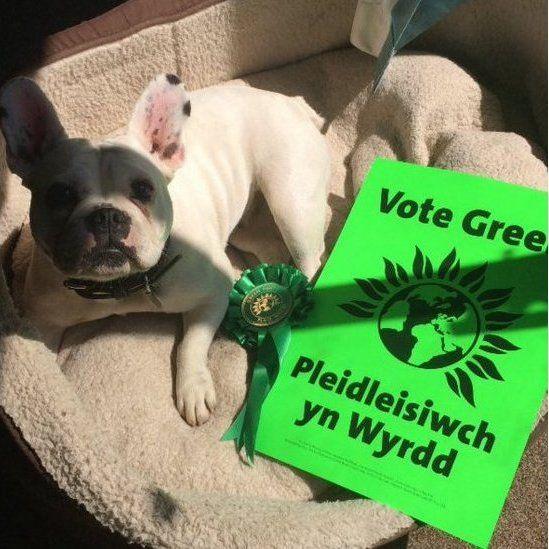 Ci Gwyn y Blaid Werdd // A white dog showing its Green credentials