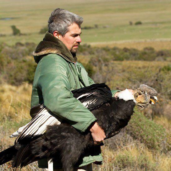 El misterio de por qué el cóndor hace su nido en Chile pero se alimenta en Argentina