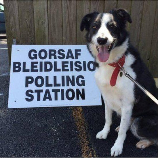 Yw'r pleidleisiau yn haws i'w casglu na'r hen ddefaid 'na ? // What's easiest, gathering votes or gathering sheep?
