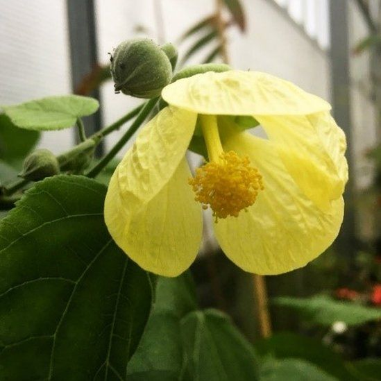 The yellow fatu (Abutilon pitcairnense)