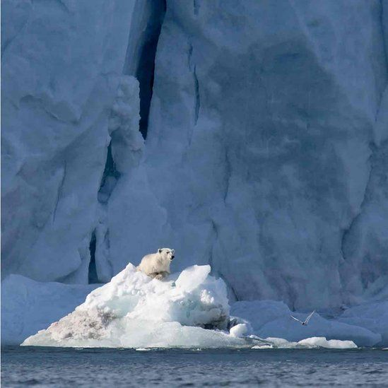 Polar bear with Arctic tern was taken June 2014 near Svalbard in the Arctic