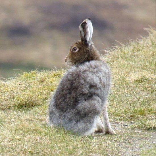 Arctic hare on the Rob Roy Way