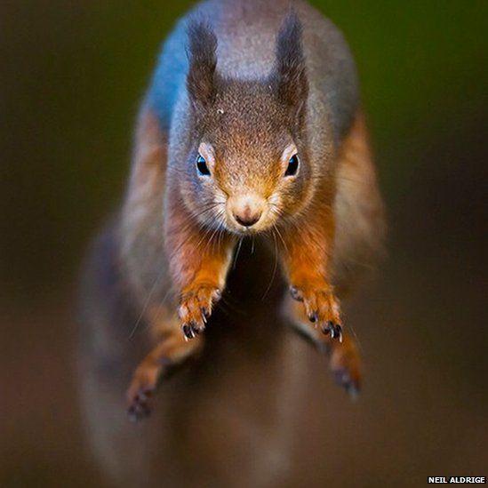 Red squirrel by Neil Aldridge