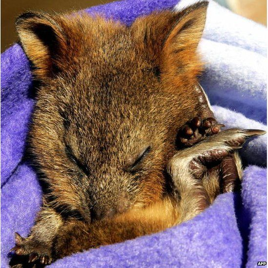 Autumn, an orphaned Quokka, sleeps in a blanket at Sydney's Taronga Zoo, 1 September 2005.