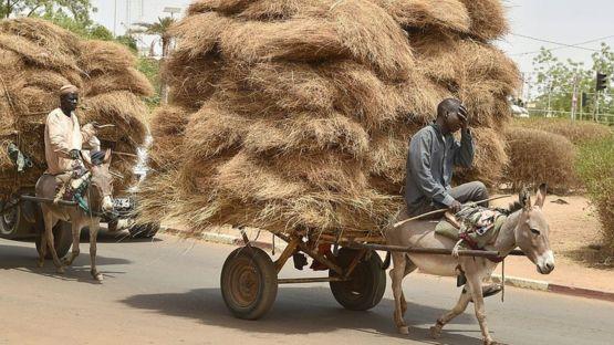 Donkeys transport goods in Niger