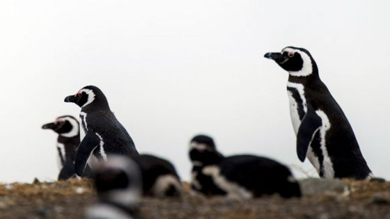 The Falklands penguins that would not explode