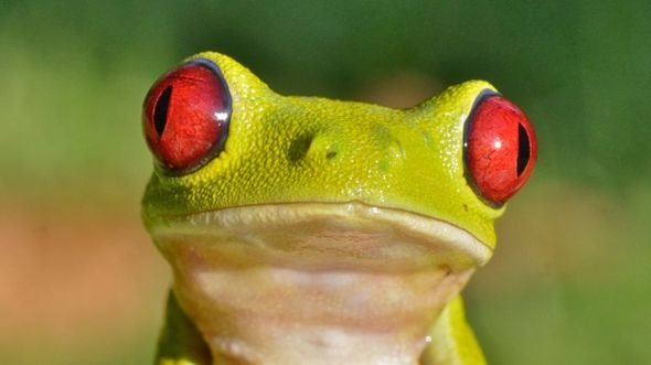 https://ichef.bbci.co.uk/news/590/cpsprodpb/3DA1/production/_96777751_c0220207-red-eyed_treefrog-spl.jpg
