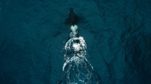 Косатка, столкнувшаяся с яхтой Робертсонов, судя по всему, сделала это случайно или приняла ее за кита