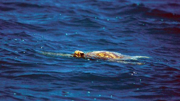 Морские черепахи были для Робертсонов источником мяса и жира