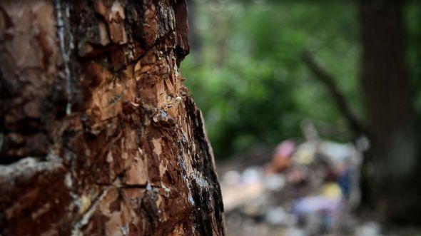 порубане дерево