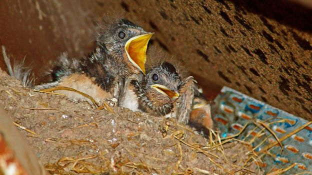 Netting to stop birds nesting: Call for new safeguards - BBC