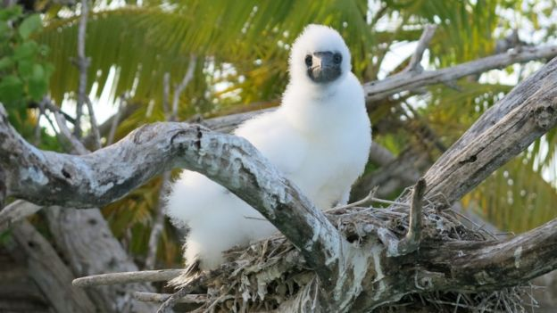 A booby chick on the nest, above a coral reef lagoon.