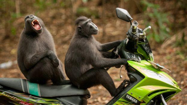 Two monkeys on a motorcycle. Photo: Katy Laveck-Foster.
