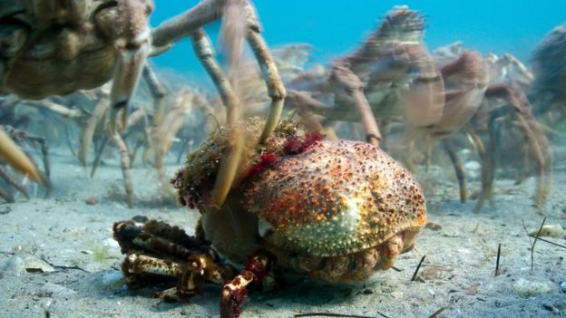 A giant spider crab emerging from the shell it has outgrown.