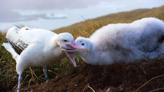 Albatros alimentando a su cría Foto Blue Planet II
