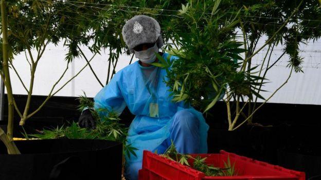 Cultivador de marihuana.