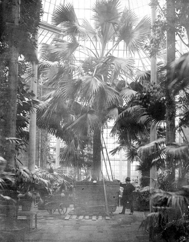 Sabal Palm at Royal Botanic Garden
