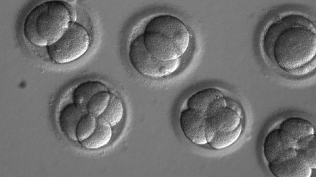 Esta imagen muestra los blastómeros dentro de los embriones tempranos dos días después de la inyección de los espermatozoides y el CRISPR.