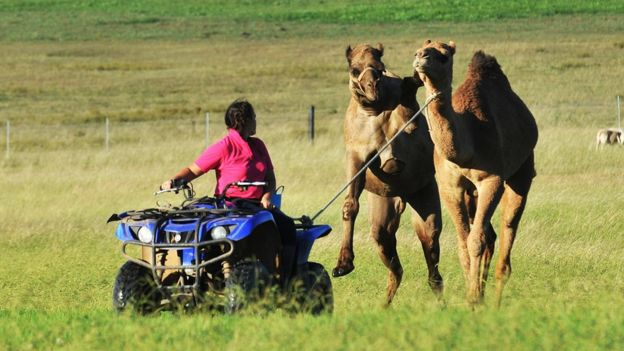 Camels being herded on an Australian farm