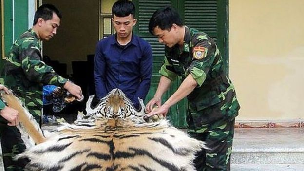 Vietnamese Border Patrol officials holding a confiscated tiger skin and bones