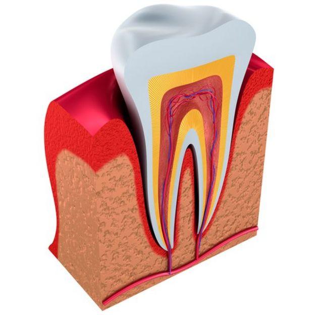Ilustración de las partes del diente