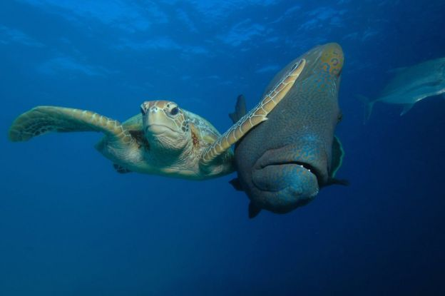 கடல் ஆமைக்கு ஒரு பெரிய அடியை கொடுக்கும் மீன். Photo: Troy Mayne