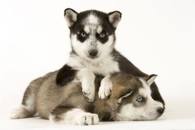ในอนาคตข้อมูลทางพันธุกรรมจะช่วยให้ผู้เพาะพันธุ์สุนัขควบคุมสีตาของลูกสุนัขที่จะเกิดมาได้