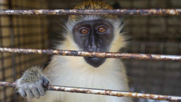 Un mono enjaulado.
