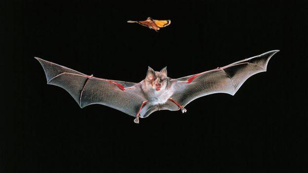 morcego-de-ferradura-grande