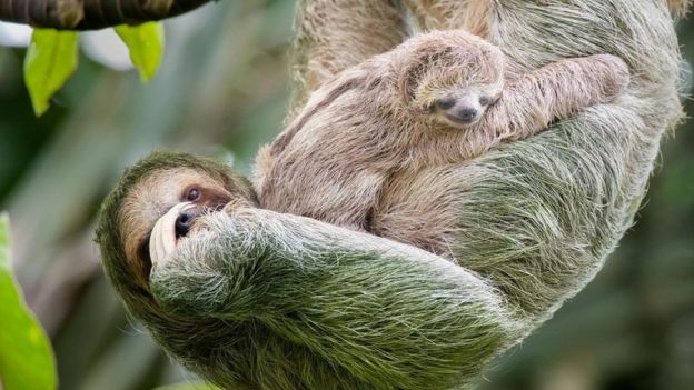 Bicho-preguiça com filhote