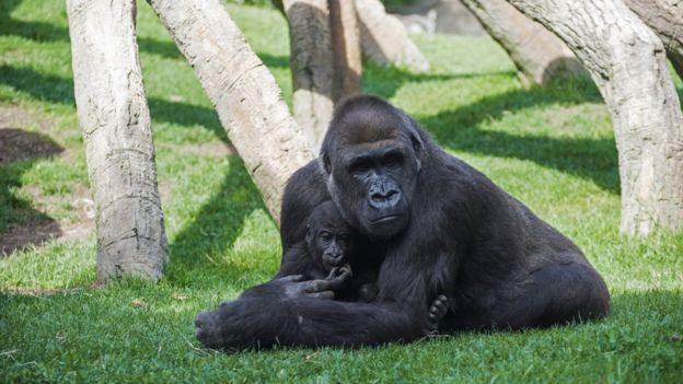 Gorila con bebé