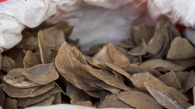 Seized pangolin scales are seen in a sack at a holding area in Singapore