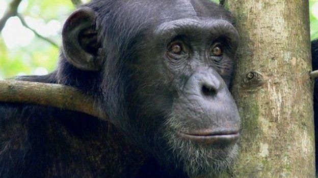 Western chimpanzee (c) Kathelijine Koops