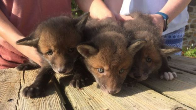 Three fox cubs