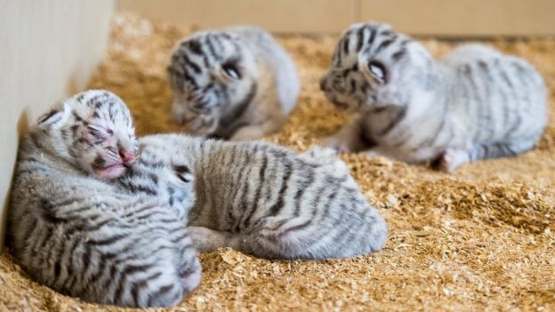 four fluffy white tiger cubs lying on sawdust in their enclosure