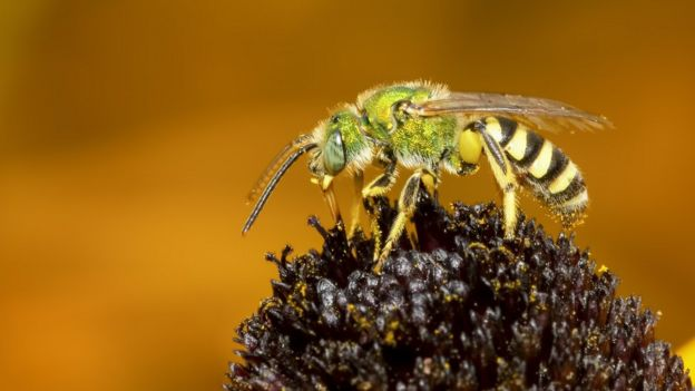 bees in pollen