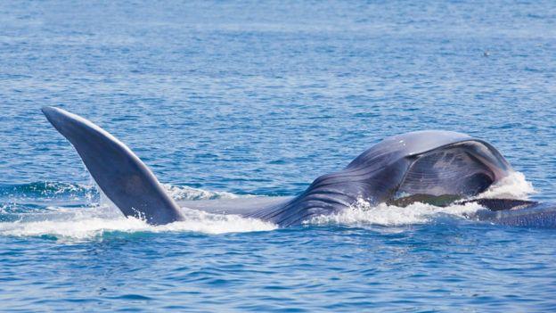 Una ballena azul comieno