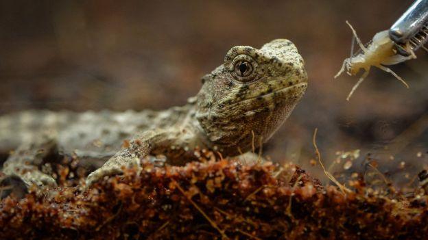 Tuatara Chester Zoo Celebrate Breeding Living Fossil
