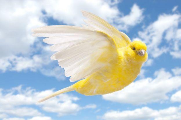 Canario en pleno vuelo