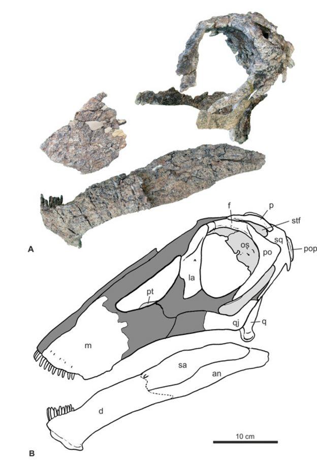 Ilustração mostrando as partes encontradas do Bajadosaurus, dinossauro descoberto na Argentina, e como elas se encaixam em um diagrama de crânio