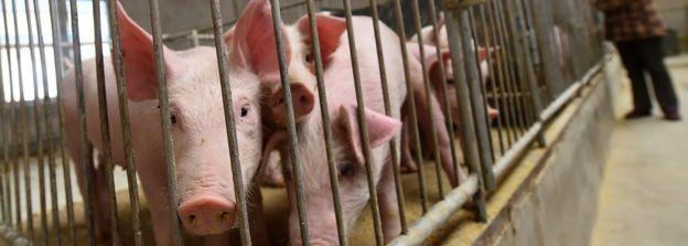 山西朔州一大型養豬場內的幼豬(中新社資料圖片)
