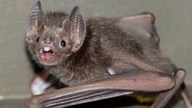 Летучая мышь-вампир
