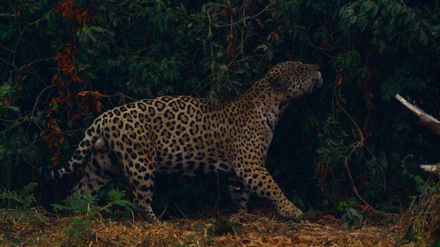 Onca-pintada no Pantanal