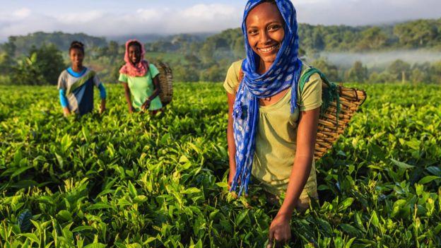 埃塞俄比亞的採茶姑娘