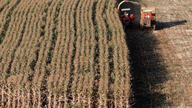 Plantação de milho em SP