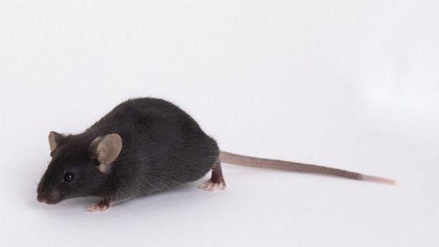 Ratón de laboratorio k18-hACE2, producido por Jackson Laboratory