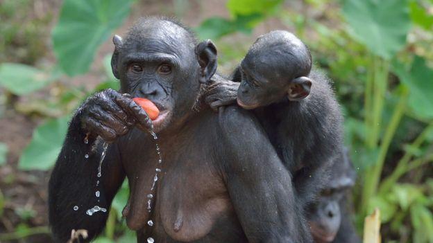 Madre bonobo con su bebé