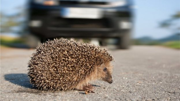 Hedgehog crossing a road